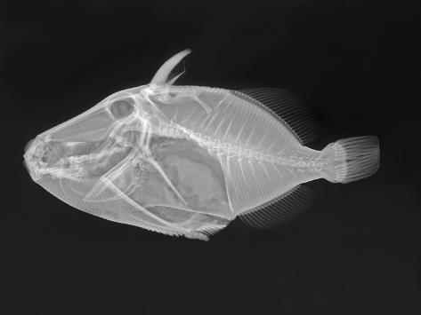 Wedge-Tail Triggerfish Photographic Print