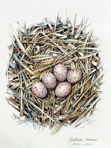 Gallinula Choepus (Moorhen), 2000 Giclee Print