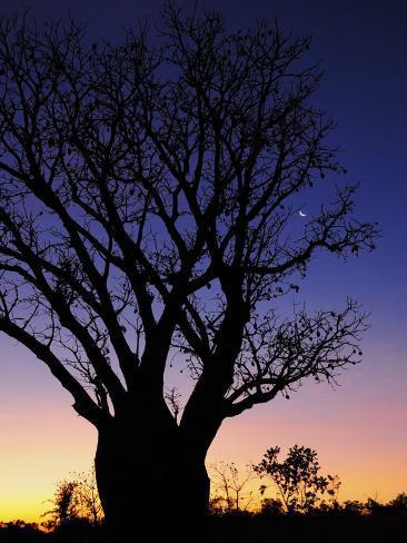 Silhouette of Boab Tree and Moon, Kimberley, Western Australia, Australia, Pacific Photographic Print