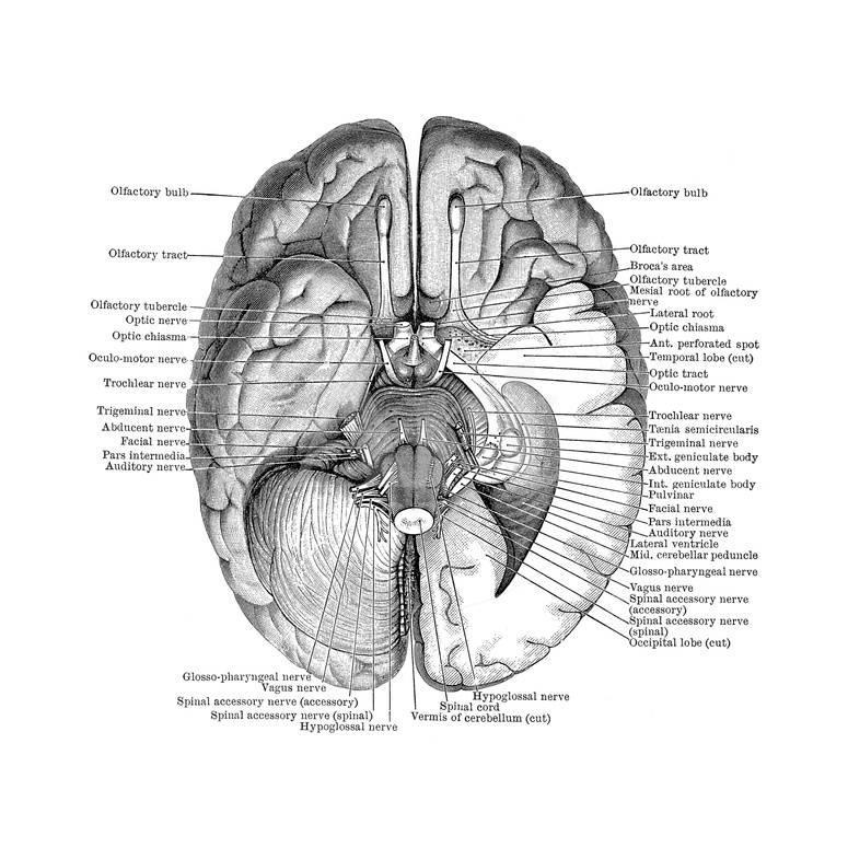 Undersurface of the Brain Prints by Science Source - at AllPosters ...