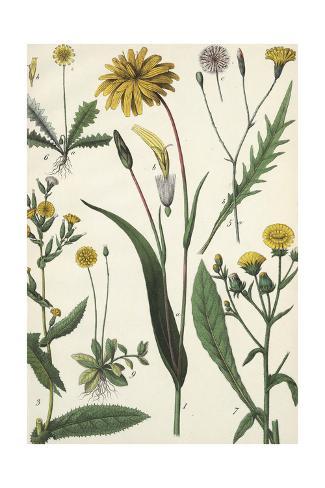 Scientific Drawing of Multiple Dandelions Art Print