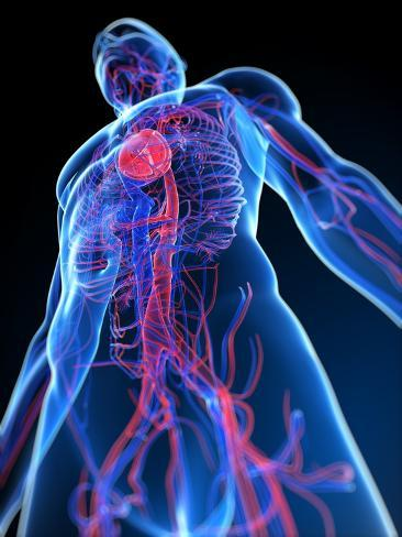 Cardiovascular System, Artwork Photographic Print by SCIEPRO - at ...