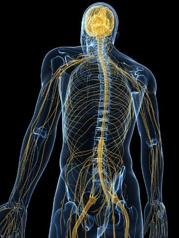 Human Nervous System, Artwork Photographic Print by SCIEPRO ...