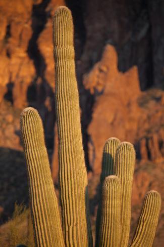 Saguaro Cactus in Lost Dutchman State Park in Apache Junction, Arizona Photographic Print