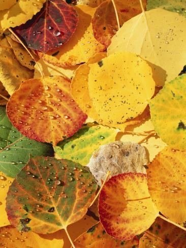 Wet Aspen Leaves in Autumn, Gunnison National Forest, Colorado, USA Photographic Print