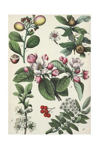 Segments of Branches with Flowers and Nut Pods Art Print