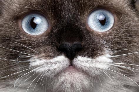 Closeup Portrait Siamese Cat with Blue Eyes Valokuvavedos