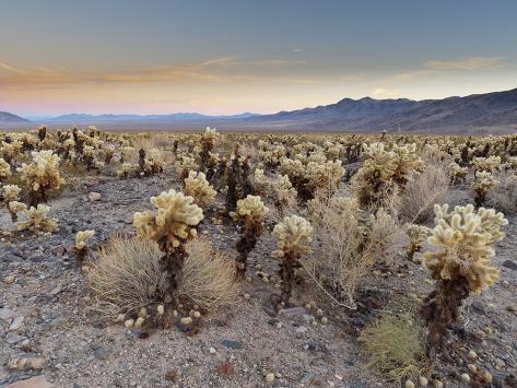 Cholla Cactus Garden Joshua Tree National Park California Usa Photographic Print By Sergio