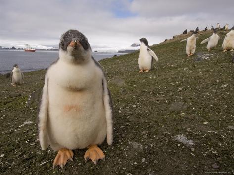 Gentoo Penguin, Aitcho Island, South Shetland Islands, Antarctica, Polar Regions Photographic Print