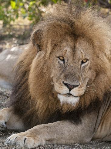 Lion (Panthera Leo), Masai Mara, Kenya, East Africa, Africa Photographic Print