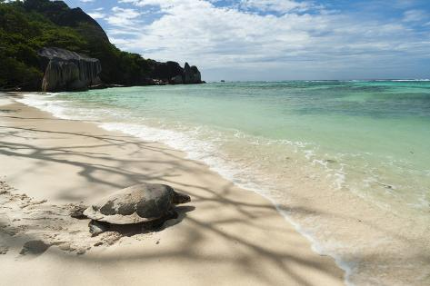 Sea Turtle, Anse Source D'Argent Beach, La Digue, Seychelles, Indian Ocean, Africa Photographic Print