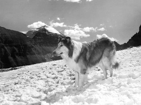Serie Televisee Lassie 1954-74 Photo