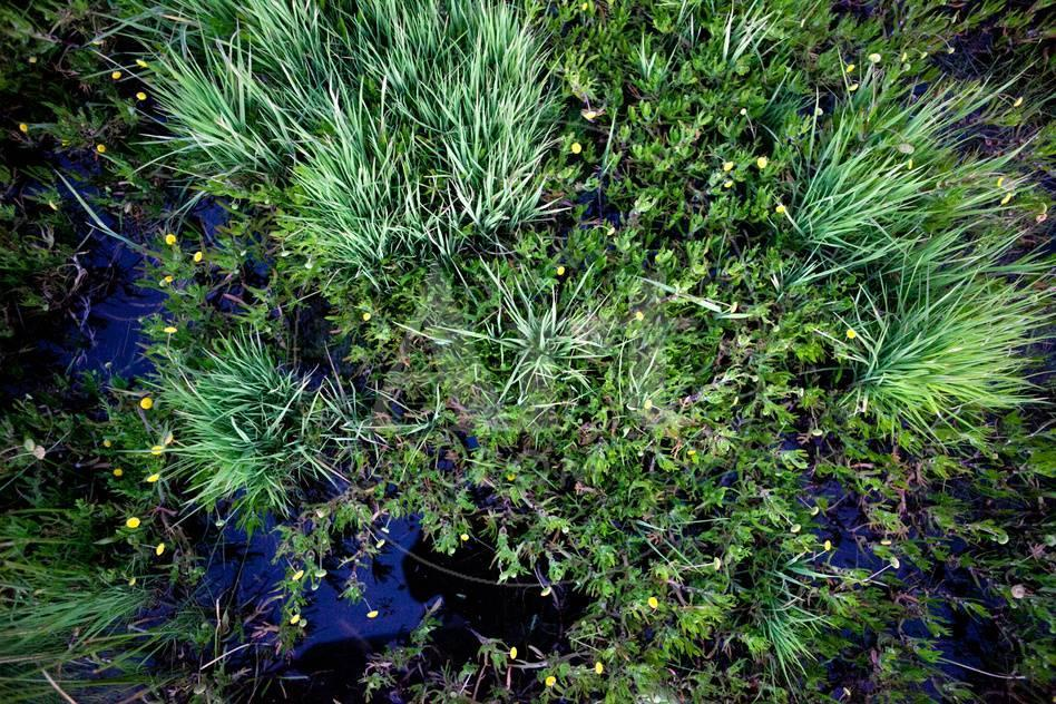 Green Grass With Yellow Flowers Grow In A Marsh Photographic Print