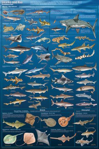 Sharks And Kin Poster