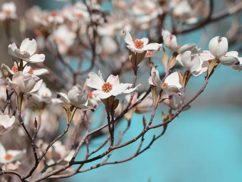 オールポスターズの シャロン チャンドラー dogwood spring iii 写真