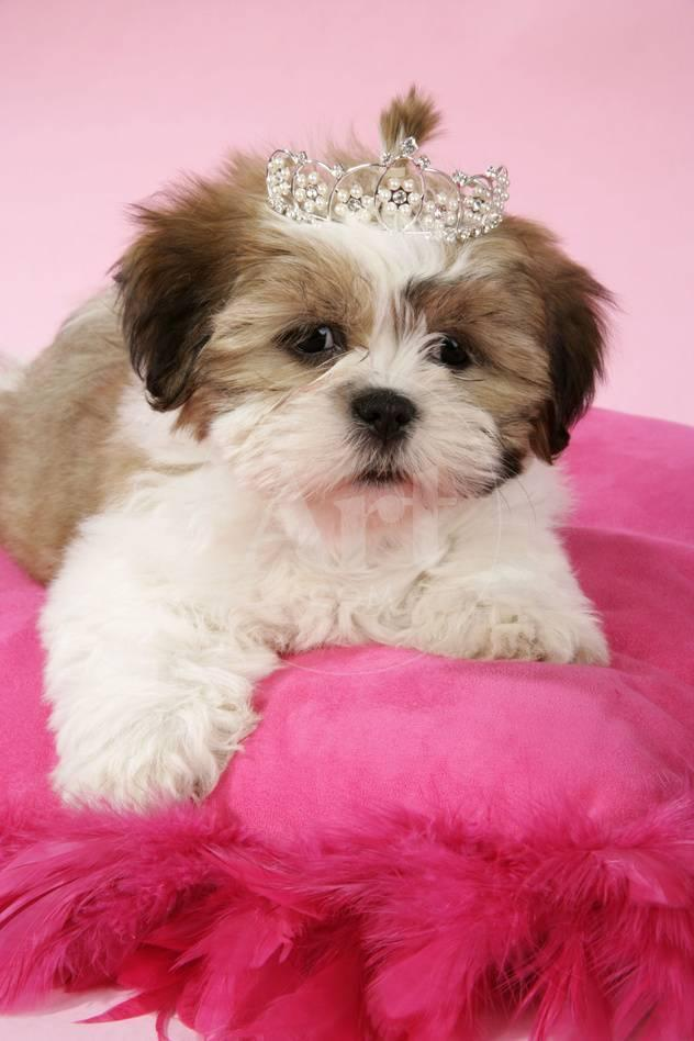 Shih Tzu 10 Week Old Puppy On Pink Cushion Photographic Print At