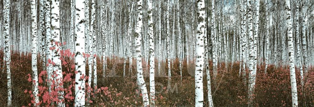 silver birch forest china prints at allposters com