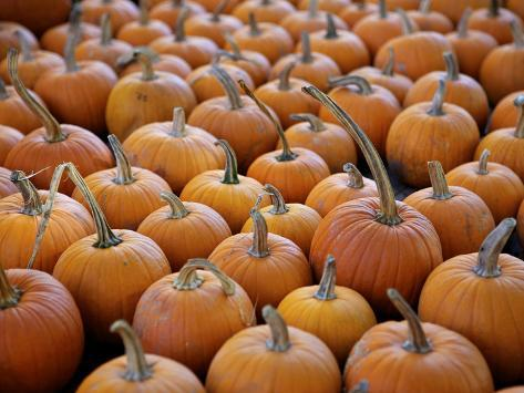 Large number of pumpkins for sale on a farm in st joseph for Large photographic prints for sale