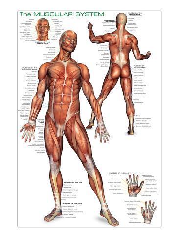 Sistema muscular Póster en AllPosters.es