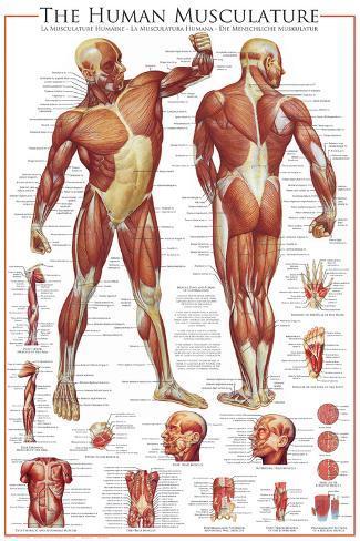 Sistema muscular Láminas en AllPosters.es