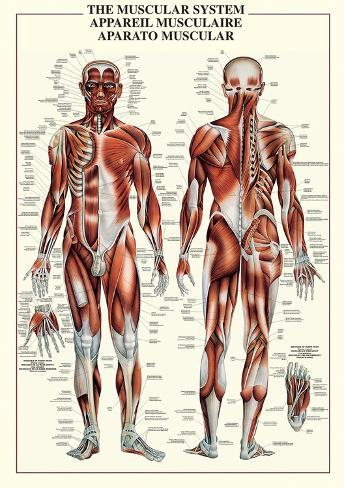 Sistema muscular Fotografía en AllPosters.es