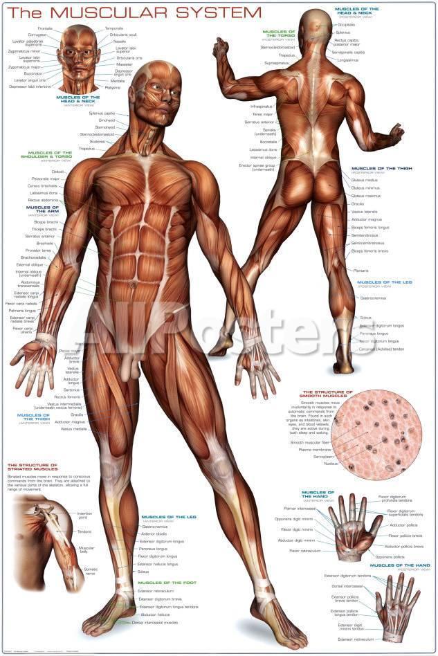 Sistema muscular Pósters en AllPosters.es