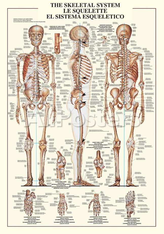 Skeletal System Poster At Allposters