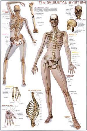 Skeletal System Print at AllPosters.com