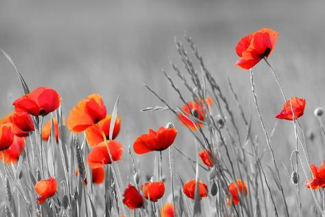 Red Poppy Flowers With Black And White Background Photographic