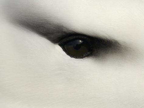 Black-Browed Albatross (Diomedea Melanophris) Eye Close Up Photographic Print