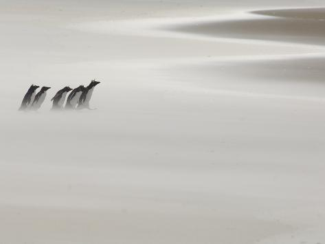 On their Way Between the Ocean and the Colony Rockhopper Penguins (Eudyptes Chrysocome) Photographic Print