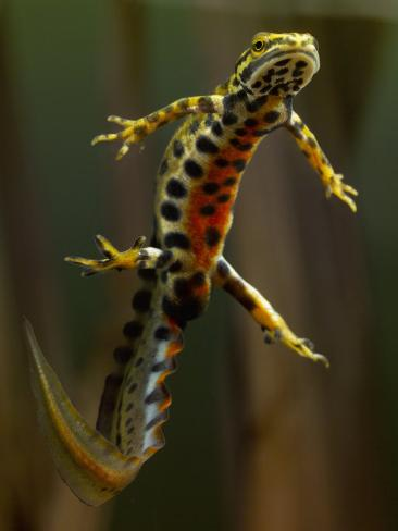 Image result for images of swimming newts