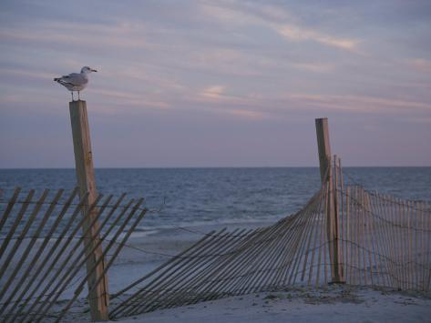 A Seagull Pauses Momentarily on a Wooden Fence Used for Dune Control Photographic Print