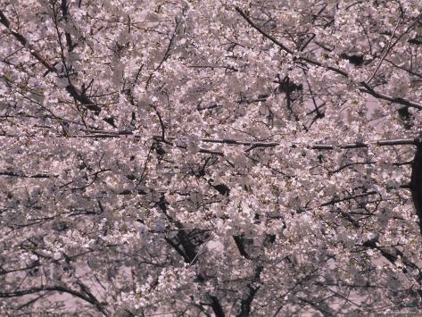 Big Cherry Blossom Tree in Washington, D.C. Photographic Print