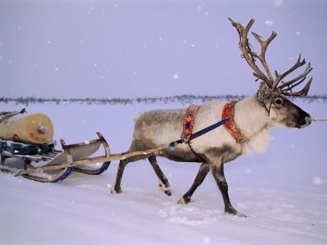 Reindeer, Pulling Sledge, Saami Easter, Norway Photographic Print
