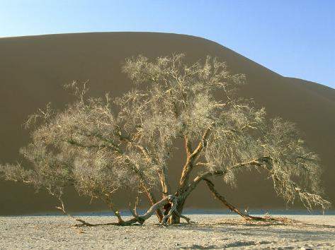 Camelthorn acacia namib naukluft park namibia l mina for Camel motors on park and ajo