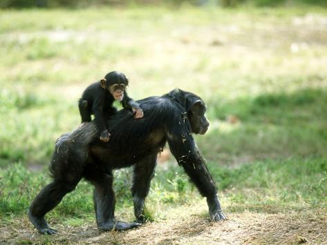 Chimpanzee, Baby on Back, Zoo Animal Photographic Print