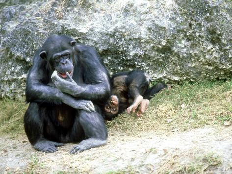 Chimpanzee, Mother & Baby, Zoo Animal Photographic Print