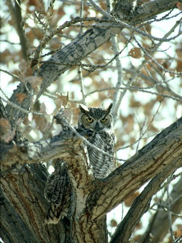 Great Horned Owl in Tree, NM Photographic Print