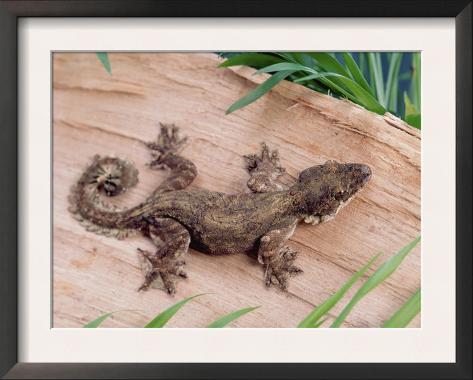 Flying Gecko Framed Art Print