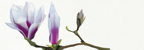 Magnolia Solitaire Art Print