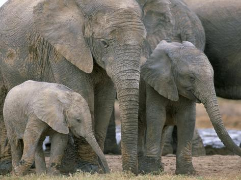 African Elephant (Loxodonta Africana), Greater Addo National Park, South Africa, Africa Photographic Print