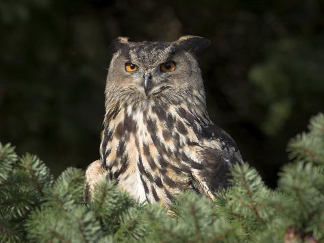 European Eagle Owl, Bubo Bubo, Female, Captive, World Owl Trust, Muncaster Castle, Cumbria Photographic Print
