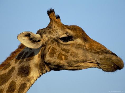 Head of a Giraffe (Giraffa Camelopardalis), South Africa, Africa Photographic Print
