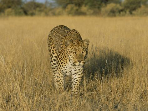 Male Leopard (Panthera Pardus) in Captivity, Namibia, Africa Photographic Print