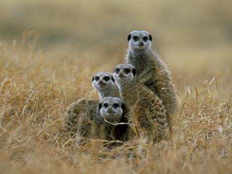 Meerkats (Suricates) (Suricata Suricatta), Greater Addo National Park, South Africa, Africa Photographic Print