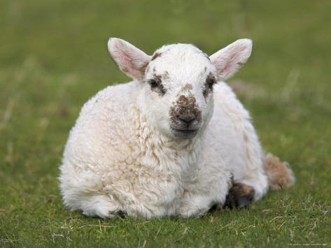 Spring Lamb, Scotland, United Kingdom Photographic Print