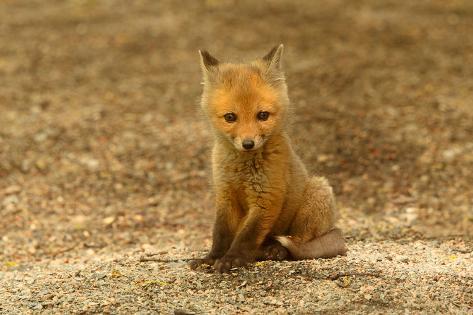 Red Fox Kit Photographic Print
