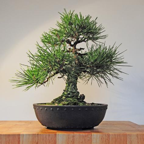 Japanese Black Pine Bonsai Tree, Pinus Thunbergii Photographic Print