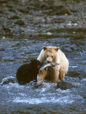 Sow with Cub Eating Fish, Rainforest of British Columbia Photographic Print